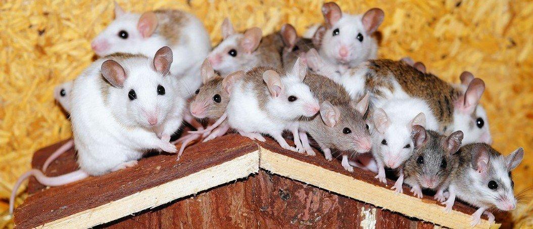 Muizen hier, muizen daar – Campusblog.nl