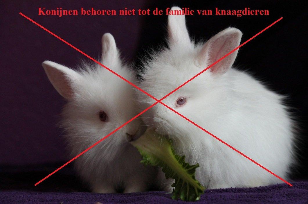 dwergkonijn is geen knaagdier
